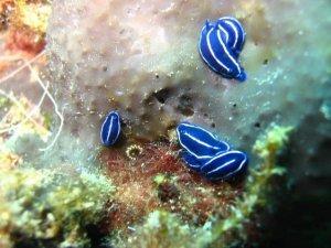 Zdralova merülőhelyen apró kék csigák