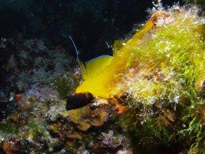 Zečevo nagyfal merülőhelyen apró sárga hal