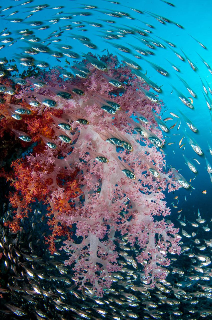 vörös-tengeri búvárszafari korallok és halak